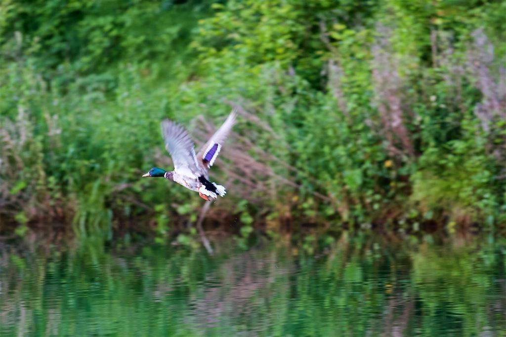Flying Drake