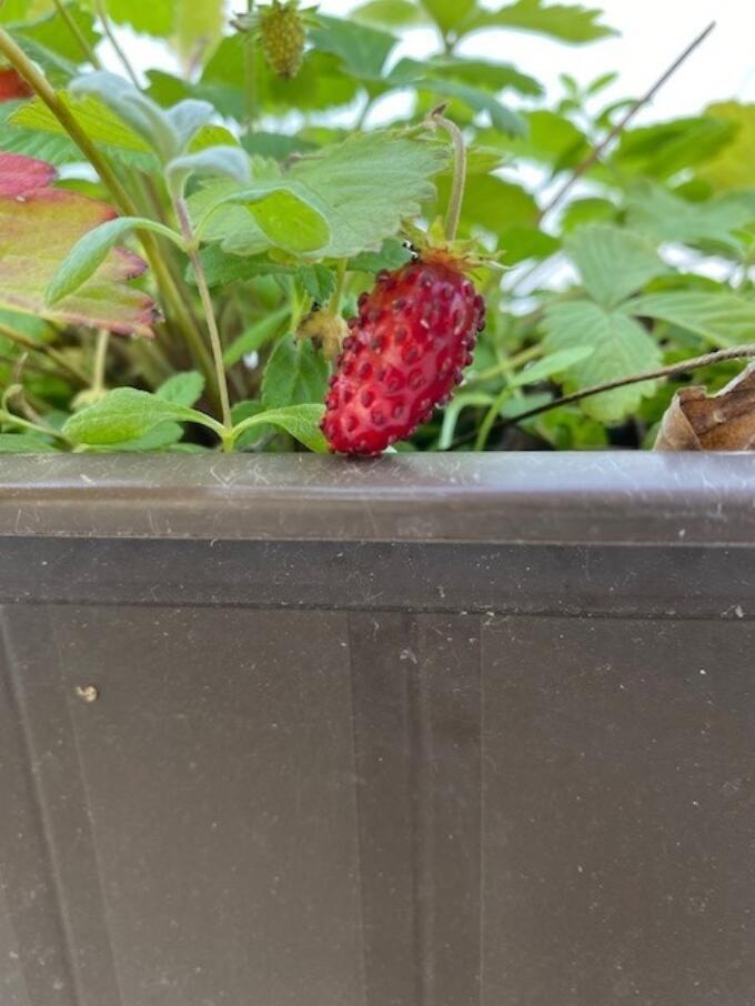 Erdbeeren im November